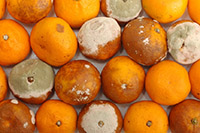 Испорченные мандарины